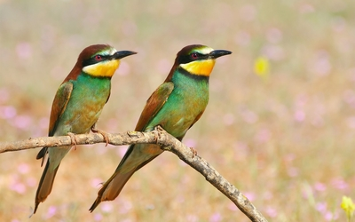 Two colorful birds on a branch wallpaper