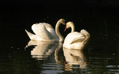 Two swans on a green lake wallpaper