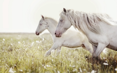 Two white horses running on the meadow wallpaper