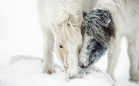 Two white ponies in the snow wallpaper 1920x1200 jpg