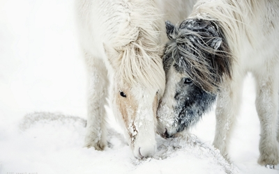 Two white ponies in the snow wallpaper