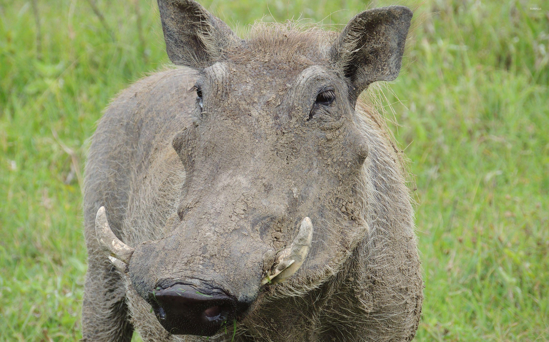 Warthog [3] wallpaper - Animal wallpapers - #29597