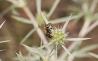 Wasp on a field eryngo blossom wallpaper 3840x2160 jpg