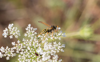 Wasp on a Milk Parsley wallpaper 2560x1600 jpg