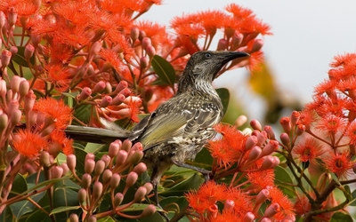 Wattlebird wallpaper
