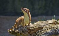 Weasel wallpaper 1920x1200 jpg