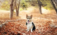 Welsh Corgi wallpaper 2560x1600 jpg