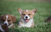 Welsh corgi puppies wallpaper 2880x1800 jpg