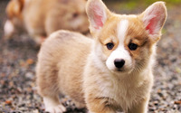 Welsh Corgi puppy wallpaper 1920x1080 jpg