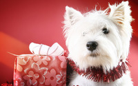 West Highland White Terrier wallpaper 2560x1600 jpg