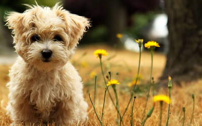 West Highland White Terrier puppy wallpaper
