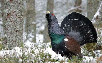Western capercaillie [2] wallpaper