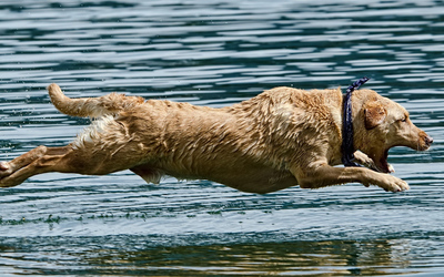 Wet dog jumping in the water wallpaper