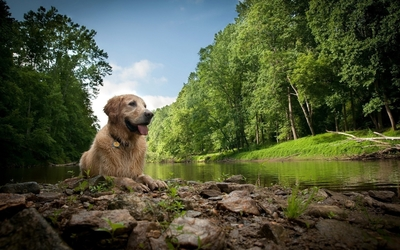 Wet dog resting by the river wallpaper