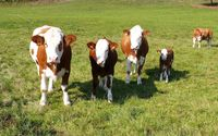 White and brown cows and calves wallpaper 1920x1080 jpg
