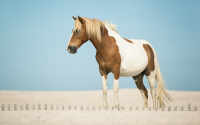 White and brown horse wallpaper