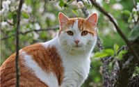 White and ginger cat wallpaper 2560x1600 jpg
