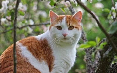 White and ginger cat wallpaper