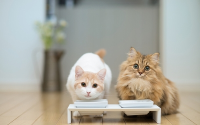 White and ginger kittens eating wallpaper