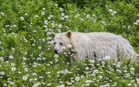White Bear walking between daisies wallpaper 1920x1200 jpg