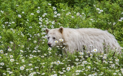 White Bear walking between daisies wallpaper