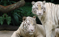 White Bengal Tigers wallpaper 1920x1080 jpg