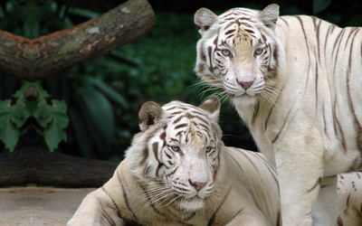 White Bengal Tigers wallpaper
