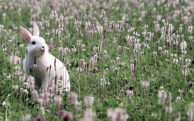White bunny on the field wallpaper