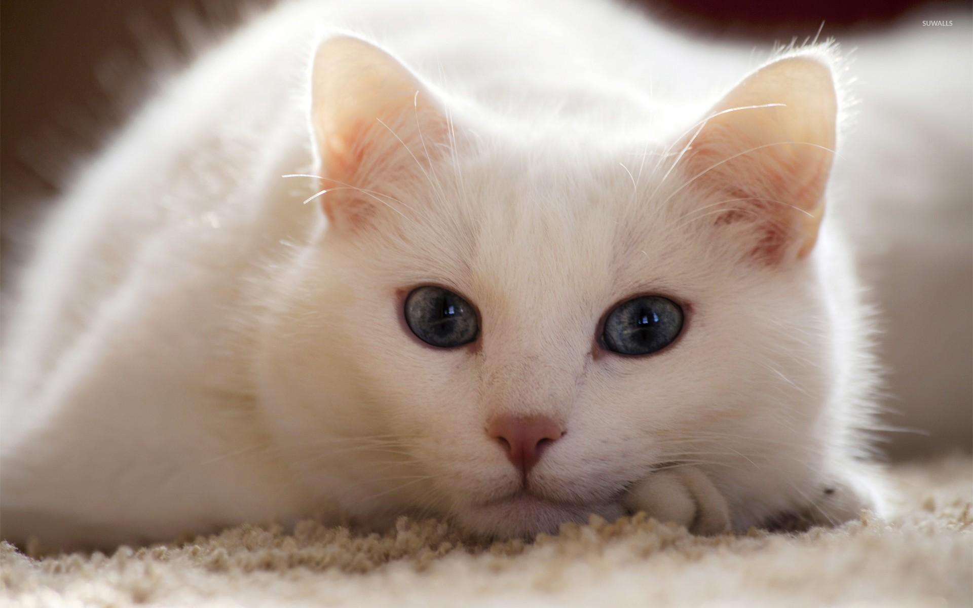 white cat wallpaper - animal wallpapers - #26151