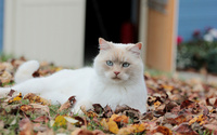White cat on autumn leaves wallpaper 1920x1200 jpg