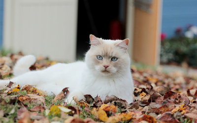 White cat on autumn leaves wallpaper