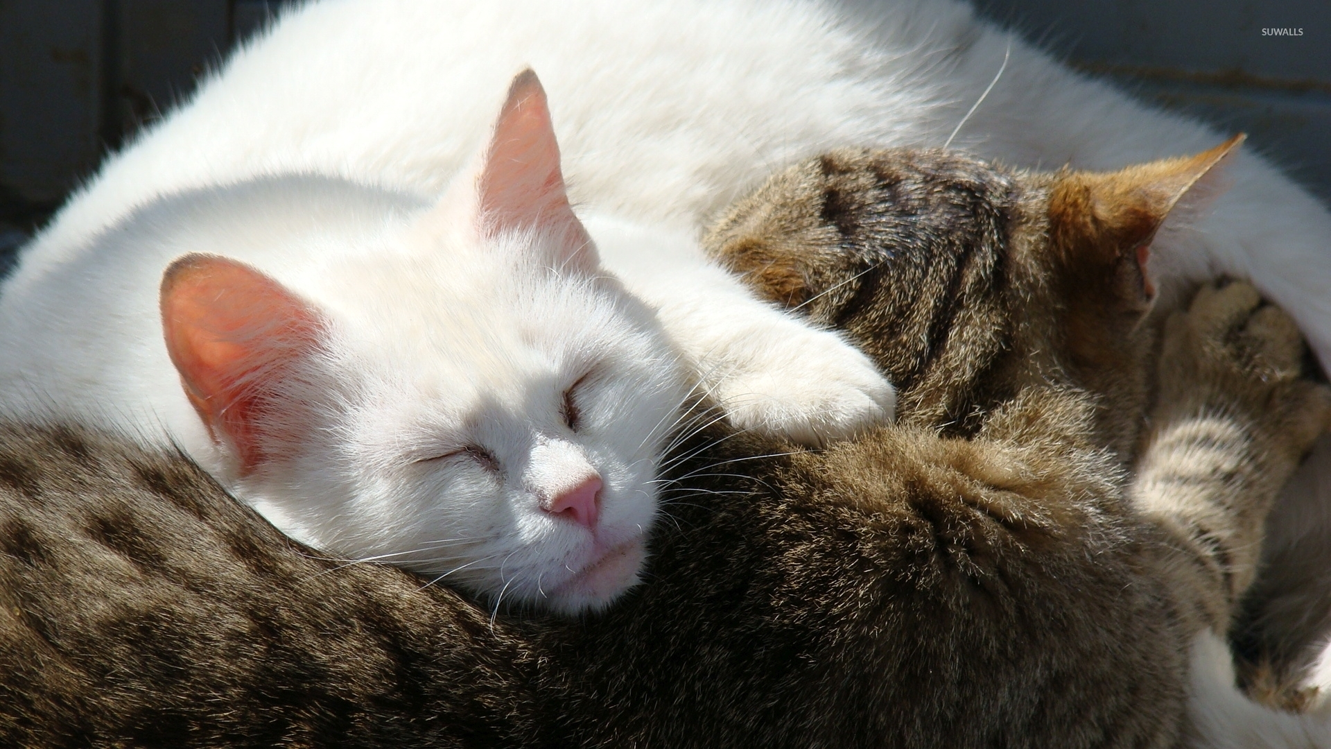 white cat sleeping on a gray cat wallpaper - animal wallpapers