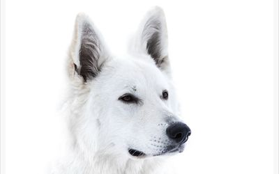 White dog wallpaper