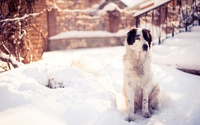 White dog in the snow wallpaper 1920x1200 jpg