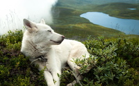 White dog sleeping on th edge of a hill wallpaper 1920x1200 jpg