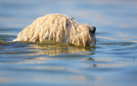 White dog swimming wallpaper 1920x1200 jpg