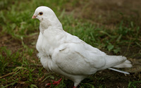 White dove wallpaper 1920x1200 jpg