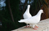 White doves wallpaper 2560x1600 jpg