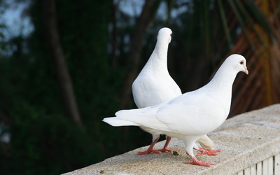 White doves wallpaper