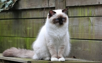 White fluffy cat by the wooden fence wallpaper 1920x1200 jpg