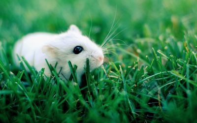 White hamster in grass wallpaper