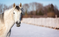 White horse [3] wallpaper 2560x1600 jpg