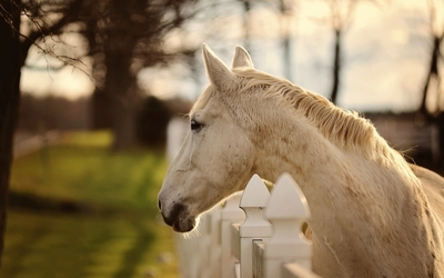 White horse looking over the white fence wallpaper