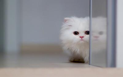 White kitten [2] wallpaper