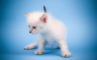 White kitten [4] wallpaper