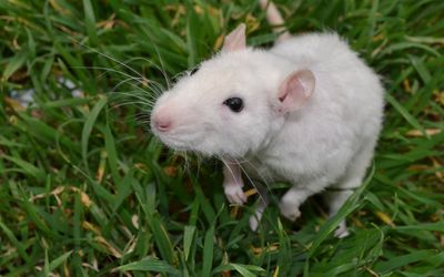 White little mouse in the grass wallpaper