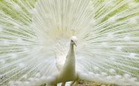 White peacock wallpaper 1920x1080 jpg