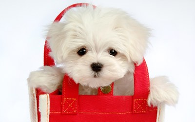 White puppy in a red bag wallpaper