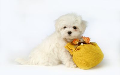 White puppy with a bag wallpaper