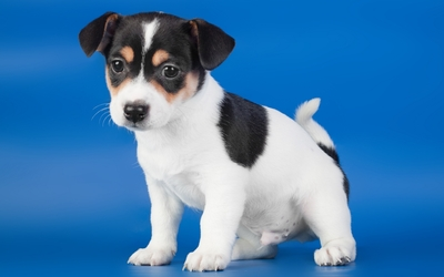 White puppy with black head wallpaper